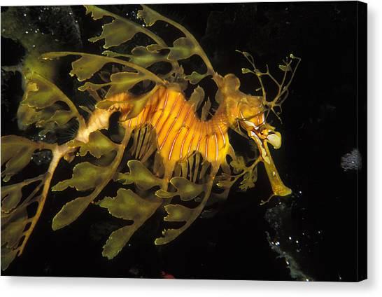 Kangaroo Canvas Print - Leafy Seadragon, Off Kangaroo Island by James Forte