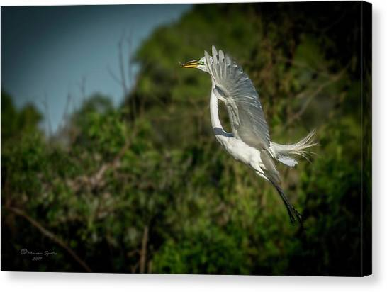 Egrets Canvas Print - Leap Of Faith by Marvin Spates