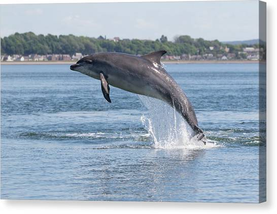 Canvas Print featuring the photograph Leaping Dolphin - Moray Firth, Scotland by Karen Van Der Zijden