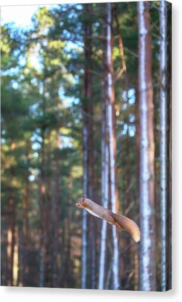 Leaping Red Squirrel Tall Canvas Print