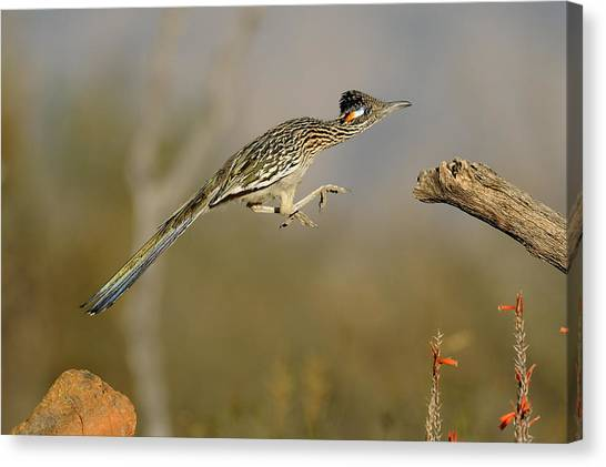 Jump Canvas Print - Leaping Roadrunner by Scott  Linstead