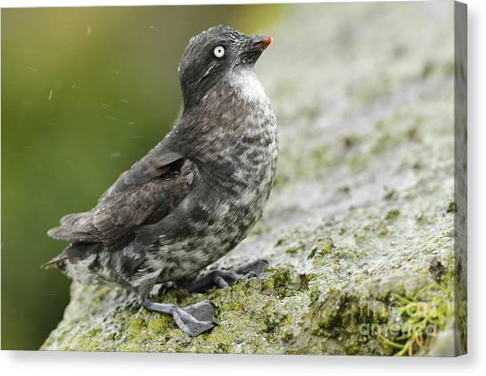 Auklets Canvas Print - Least Auklet by Desmond Dugan/FLPA