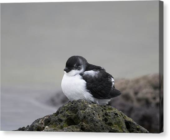 Auklets Canvas Print - Least Auklet by Tom Ingram