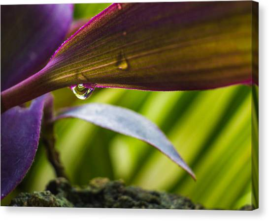 Gota Canvas Print - Leaves And Water Drops by Emilio Portuondo