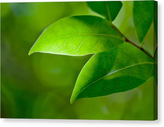 Pic Canvas Print - Leaves Of Green by Az Jackson