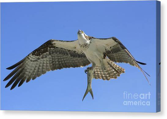 Osprey Canvas Print - Leftovers by Quinn Sedam