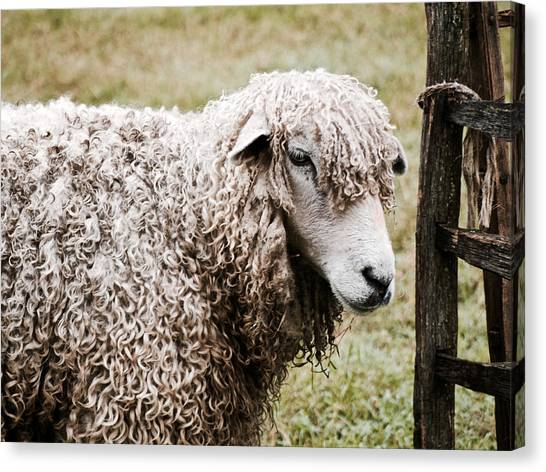 Leicester Longwool Canvas Print