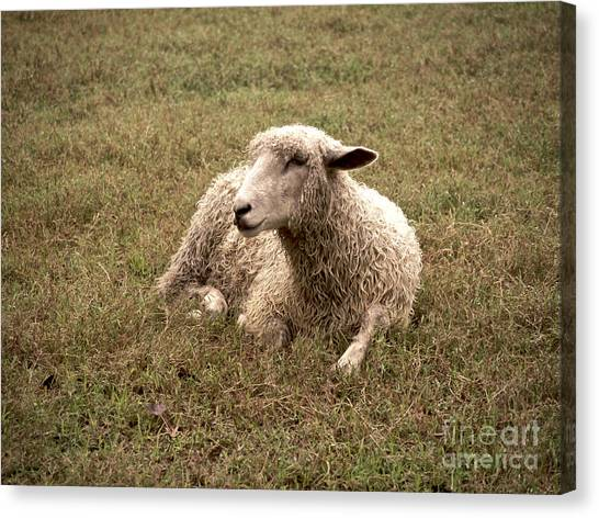Leicester Sheep In The Dewy Grass Canvas Print