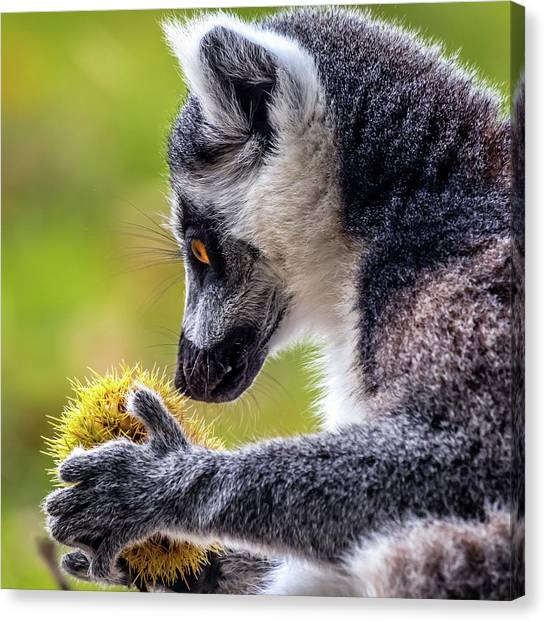 Canvas Print featuring the photograph Lemur And Sweet Chestnut by Nick Bywater