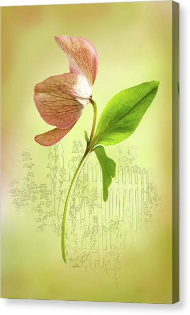 Lenton Rose 1 Canvas Print