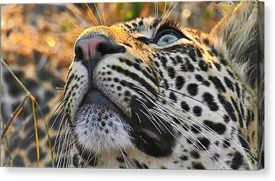 Leopard Aloft Canvas Print