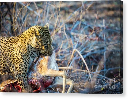 Leapords Canvas Print - Leopard And His Kill by Daryl L Hunter