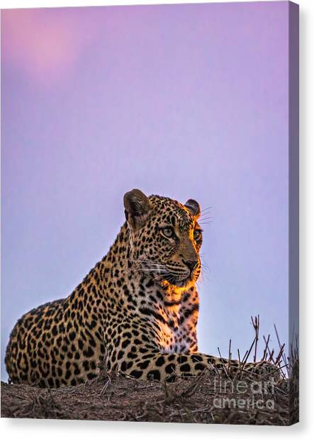 Leapords Canvas Print - Leopard At Sunset by Daryl L Hunter