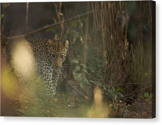 Leopard Comes Out Of The Bush Canvas Print by Johan Elzenga