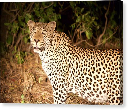 Leapords Canvas Print - Leopard Eyes by Stebin Horne