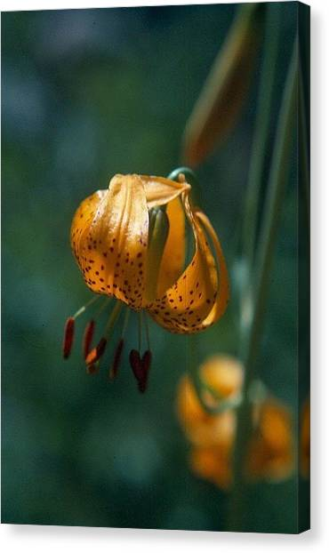 Leopard Lilly Canvas Print by Chris Gudger