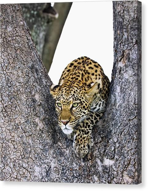 Okavango Swamp Canvas Print - Leopard Panthera Pardus by Carson Ganci