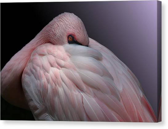 Lesser Flamingo Resting Canvas Print