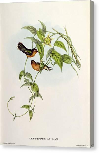 Lovebirds Canvas Print - Leucippus Fallax by John Gould