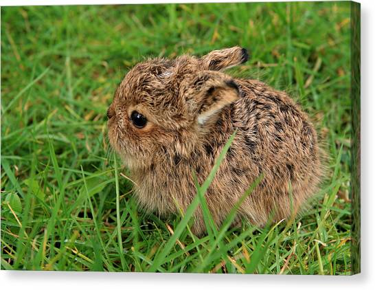March Hare Canvas Print - Leveret by Aidan Moran