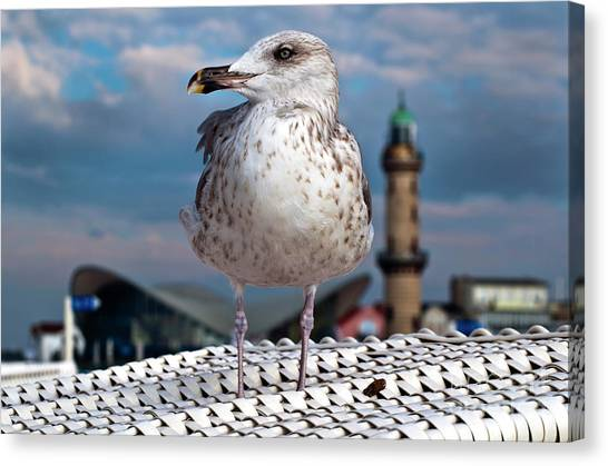 Liberty Of An Pacific Gull Canvas Print