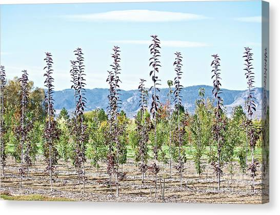 Life On A Tree Farm-foothills View #1 Canvas Print