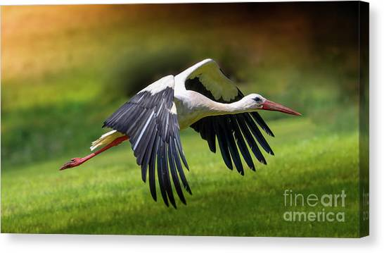 Storks Canvas Print - Lift Up by Franziskus Pfleghart