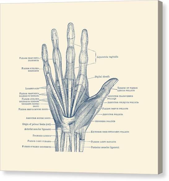ligaments and bones human hand diagram vintage anatomy vintage anatomy prints canvas print medical chart canvas prints (page 10 of 11) fine art america