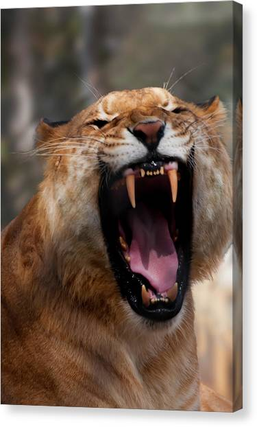 Canvas Print featuring the photograph Liger by Chris Flees