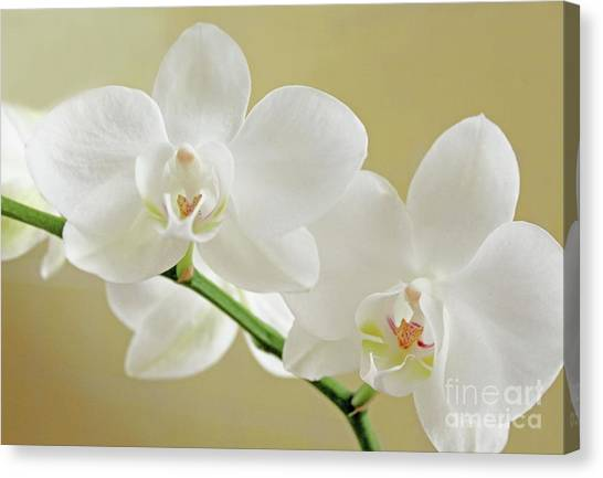 Light On White Canvas Print by Lynne M Albright