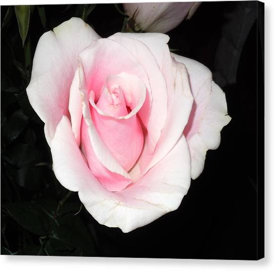 Light Pink Rose Canvas Print