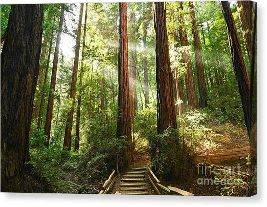 Redwood Forest Canvas Print - Light The Way - Redwood Forest Of Muir Woods National Monument With Sun Beam. by Jamie Pham