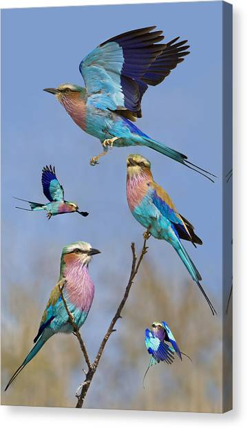 Flight Canvas Print - Lilac-breasted Roller Collage by Basie Van Zyl