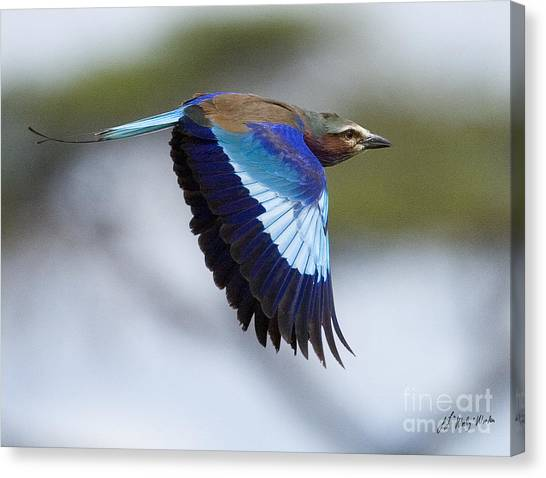 Lilac-breasted Roller-signed Canvas Print