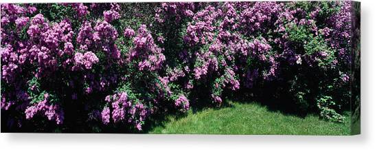 Lilac Bush Canvas Print - Lilac Flowers In A Garden, Grand by Panoramic Images