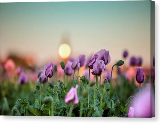 Sundown Canvas Print - Lilac Poppy Flowers by Nailia Schwarz