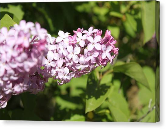 Lilacs 5550 Canvas Print
