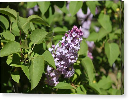 Canvas Print featuring the photograph Lilacs 5551 by Antonio Romero