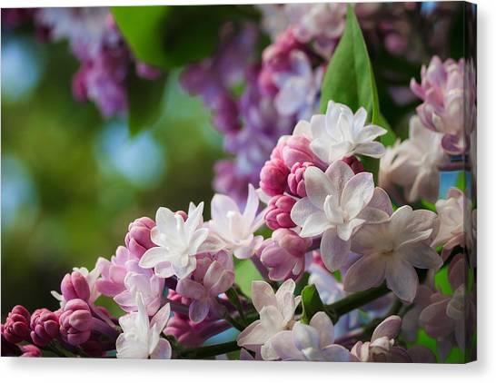 Lilacs Of Spring Canvas Print