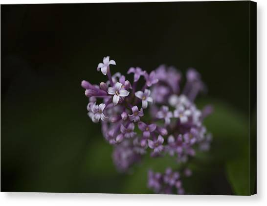 Lilacs2 Canvas Print by Liz Howerton