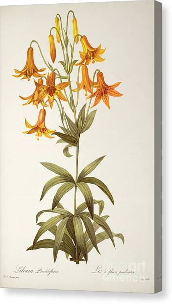 Redoute Canvas Print - Lilium Penduliflorum by Pierre Joseph Redoute