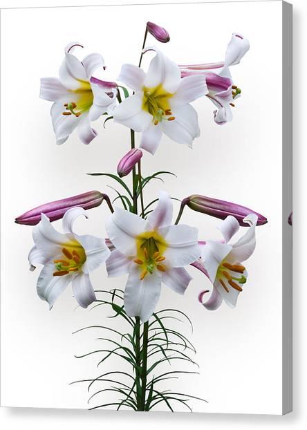 Lilium Regale Canvas Print