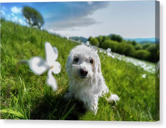 Canvas Print featuring the photograph Lilli At The Daffodils Blossimg At Cavalla Plains 2017 - Lilli Alla Fioritura Dei Narcisi Al Pian De by Enrico Pelos