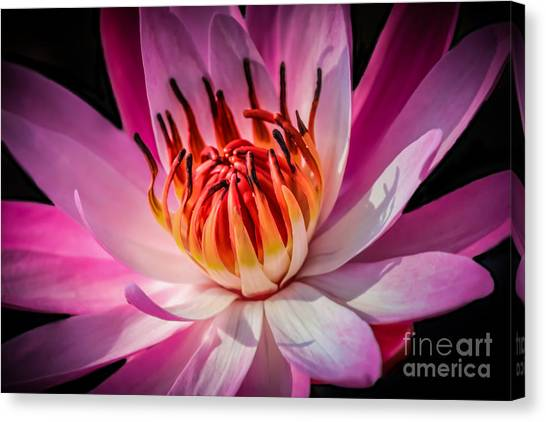 St. Lucie County Canvas Print - Lily Fire 2 by Liesl Walsh