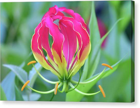 Lily In Flames Canvas Print