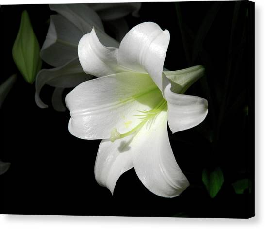 Lily In The Light Canvas Print