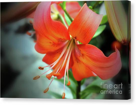 Lily Love Canvas Print