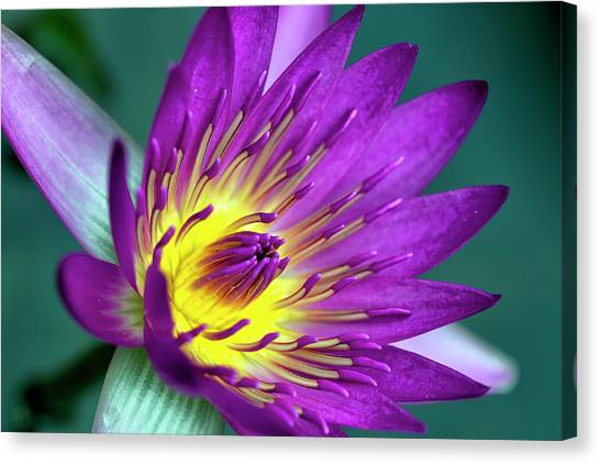Lily On The Water Canvas Print