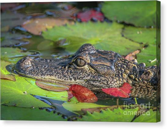 Canvas Print featuring the photograph Lily Pad Gator by Tom Claud