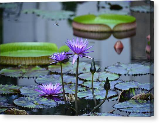 Lily Pond Wonders Canvas Print